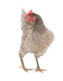 Kurczak kłaść karmazynki w pełen wdzięku pozie odosobniony Fotografia Royalty Free