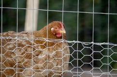 Kurczak karmazynka w klatce, czerwieni grępla Obraz Stock