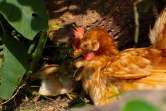 Kurczak karmy kropla wolno wśród parka obraz stock