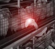 Kurczak klatka z infekującym kurczakiem, ptasia grypa, epidemia, kurczaki, choroby i infekcje, gospodarstwo rolne obraz stock