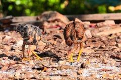 Kurczak lud w wsi Thailand Zdjęcie Royalty Free