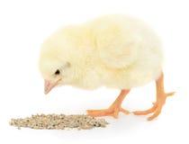 kurczak ma danie dziecka Zdjęcia Royalty Free