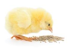 kurczak ma danie dziecka Obraz Royalty Free