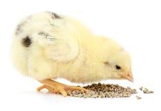 kurczak ma danie dziecka Zdjęcie Royalty Free