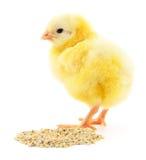 kurczak ma danie dziecka Obrazy Stock