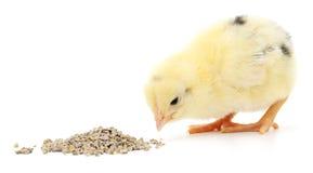 kurczak ma danie dziecka Fotografia Stock