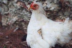 Kurczak mama chuje ptaka pod skrzydłem Syndrom przesadna kustodia nad dzieckiem zdjęcie stock