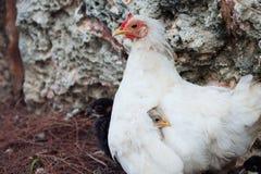 Kurczak mama chuje ptaka pod skrzydłem Syndrom przesadna kustodia nad dzieckiem obrazy royalty free