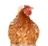 Kurczak na białym tle, przedmiot, jeden zbliżenia zwierzę Zdjęcie Stock