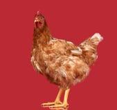 Kurczak na czerwonym tle, przedmiot, jeden zbliżenia zwierzę Obrazy Stock