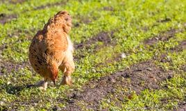 Kurczak na farmie drobiu Fotografia Royalty Free