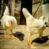 Kurczak na gospodarstwie rolnym Zdjęcie Stock