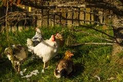 Kurczak na Islandzkim gospodarstwie rolnym Fotografia Royalty Free