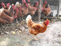 Kurczak na odprowadzeniu na zewnątrz klatki Zdjęcia Royalty Free