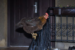 Kurczak na poręczu Zdjęcie Stock