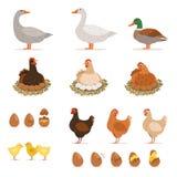 Kurczak nasiadowa karmazynka, kaczki i inny, uprawiamy ziemię ptaki i jego jajka Wektorowe ilustracje ustawiać w kreskówka stylu ilustracja wektor