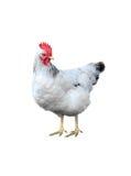 kurczak odizolowywa biel Zdjęcie Royalty Free