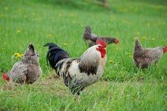 kurczak plenerowy Fotografia Stock