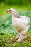 kurczak plenerowy Obraz Royalty Free