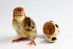kurczak przepiórka Zdjęcia Stock
