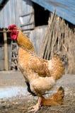 kurczak uwalnia pasmo zdjęcie stock