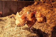 Kurczak w gospodarstwie rolnym fotografia royalty free