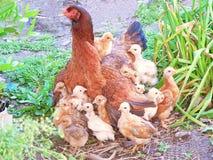 Kurczak z kurczątkami zdjęcie stock
