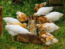 Kurczak z kurczakami je karmę od dozownika fotografia stock