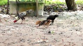 Kurczaka łasowania jedzenie na ziemi zbiory wideo