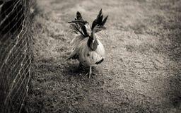Kurczaka bieg fotografia stock