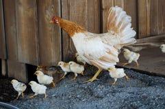 Kurczaka bieg wokoło gospodarstwa rolnego Obraz Royalty Free
