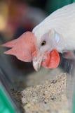kurczaka biel zdjęcia stock