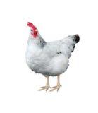 kurczaka biel Obraz Royalty Free