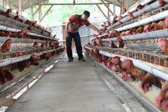Kurczaka bydlęcia biznes Fotografia Stock