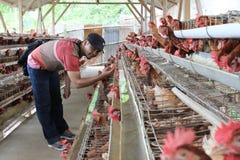 Kurczaka bydlęcia biznes Obraz Stock