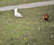 Kurczaka gmeranie dla jedzenie parka podczas jesień sezonu publicznie, obrazy royalty free