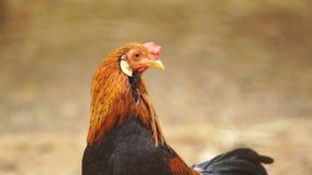kurczaka gospodarstwo rolne zbiory