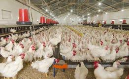 Kurczaka gospodarstwo rolne Zdjęcie Royalty Free