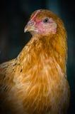 kurczaka gospodarstwo rolne integrował blisko drobiowego strumienia Zdjęcia Stock
