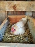 Kurczaka hatching†‹ Zdjęcia Stock