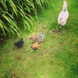 Kurczaka i kurczątek dzieci Zdjęcia Stock