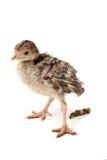 Kurczaka indyk robi bzdury odizolowywającej na białym tle Zdjęcia Royalty Free