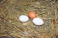kurczaka jajek gniazdeczko Zdjęcie Stock