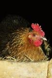 kurczaka karmazynki matka Zdjęcie Royalty Free
