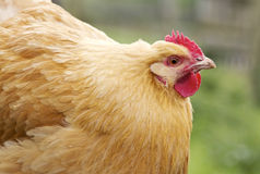 kurczaka karmazynki orpington Obrazy Stock