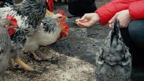 Kurczaka karmienie od kobiety ręki zbiory wideo