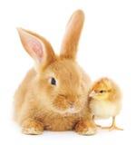 kurczaka królik Zdjęcie Royalty Free