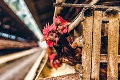 Kurczaka kurny zbliżenie w gospodarstwie rolnym zdjęcia royalty free