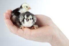 Kurczaka obsiadanie w hand.GN Fotografia Stock