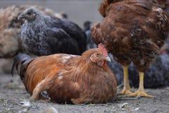 Kurczaka odpoczywać Obraz Royalty Free